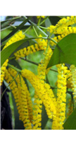 Acacia drink ingredient