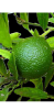 Lime ingredient